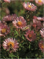 aster nowoangielski Barr's Pink