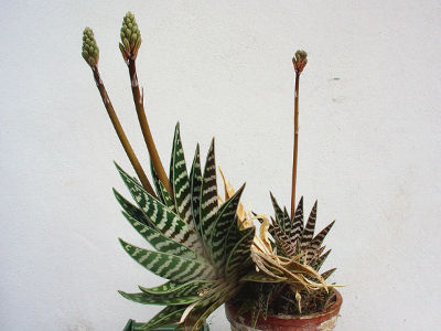 aloes pstry
