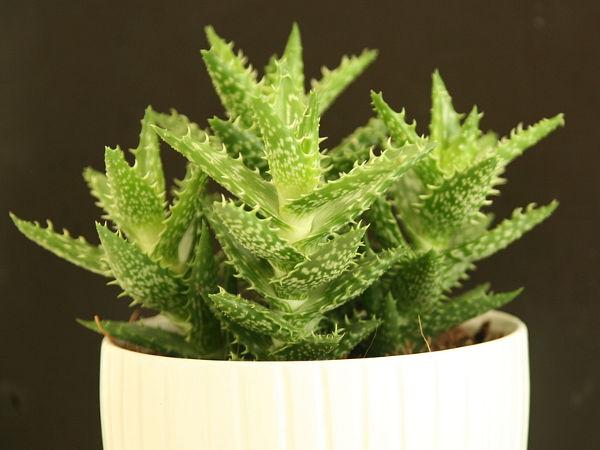 Fantastyczny Aloes - uprawa w domu, odmiany, rozmnażanie MI47
