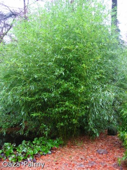 bambus ogrodowy mrozoodporny uprawa w ogrodzie odmiany. Black Bedroom Furniture Sets. Home Design Ideas
