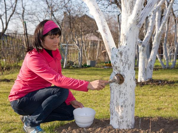 Bielenie drzew owocowych. Jak, kiedy i czym bielić drzewka?