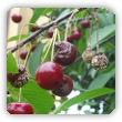Brunatna zgnilizna drzew pestkowych - zwalczanie, środki ochrony