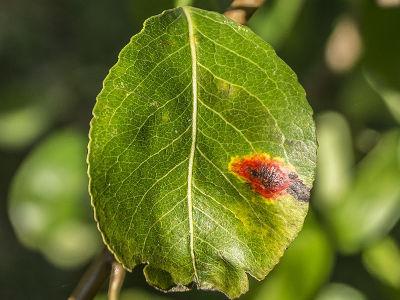 Pielęgnacja drzew owocowych śliwy