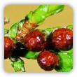 choroby i szkodniki iglaków