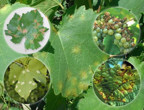 Choroby i szkodniki winorośli.