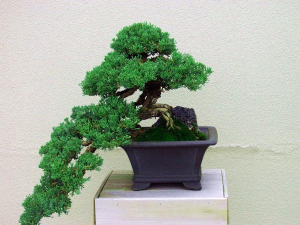 Drzewko Bonsai Pielęgnacja W Domu