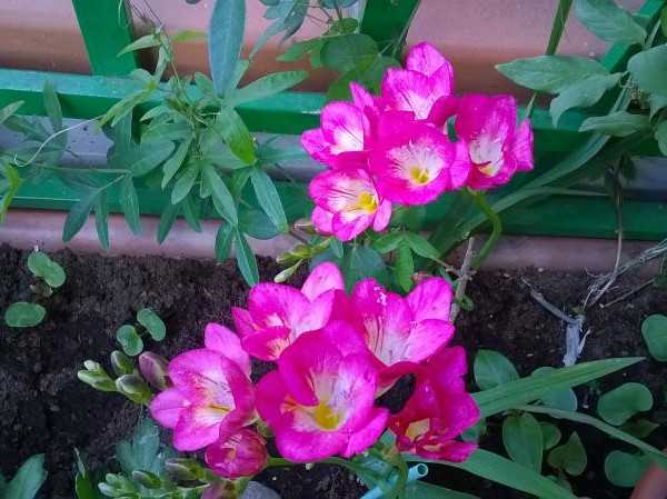 7b14266a8964ac Frezja w doniczce - uprawa, sadzenie, pielęgnacja