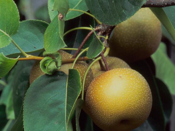41b0589d Grusza azjatycka - odmiany, uprawa, sadzenie