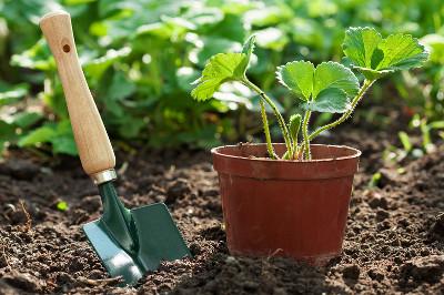 Kiedy sadzić truskawki do gruntu
