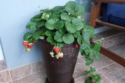 truskawki na balkonie w donicy ceramicznej