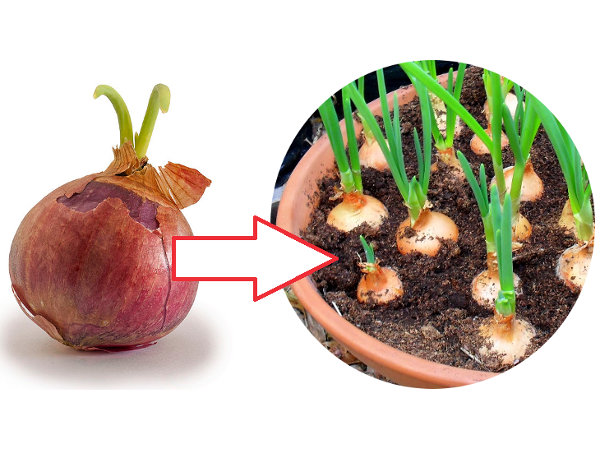 Jak Sadzić Cebulę Na Szczypiorek W Doniczce