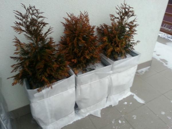 Jak zabezpieczyć iglaki na zimę