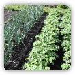 Jakie warzywa sadzić obok siebie - tabela