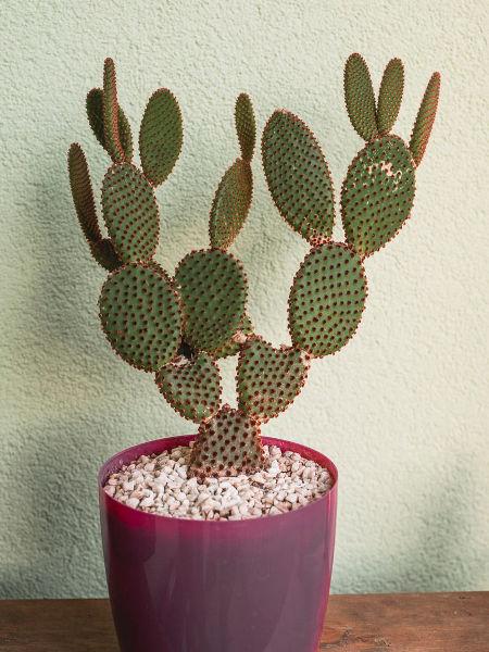 Jak Dbać O Kaktusy Doniczkowe Uprawa Kaktusów W Domu
