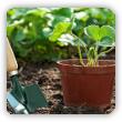 Kiedy sadzić truskawki