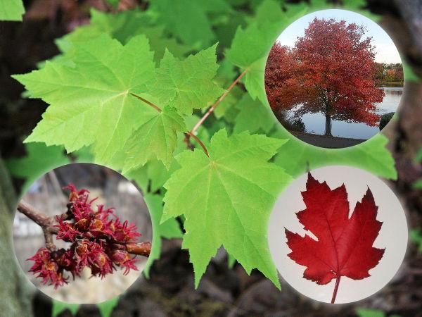 Wybitny Klon czerwony - odmiany, uprawa, cięcie, choroby GY72