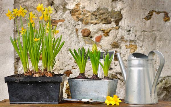Kwiaty Cebulowe W Doniczkach