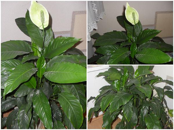 Poważne Kwiaty doniczkowe do biura - jakie wybrać, zdjęcia, opisy HZ22