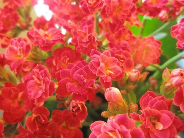 Kwiaty Doniczkowe Kwitnące Cały Rok