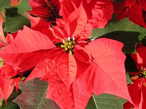 http://poradnikogrodniczy.pl/pliki/plikiporady/kwiaty-na-boze-narodzenie-2.jpg