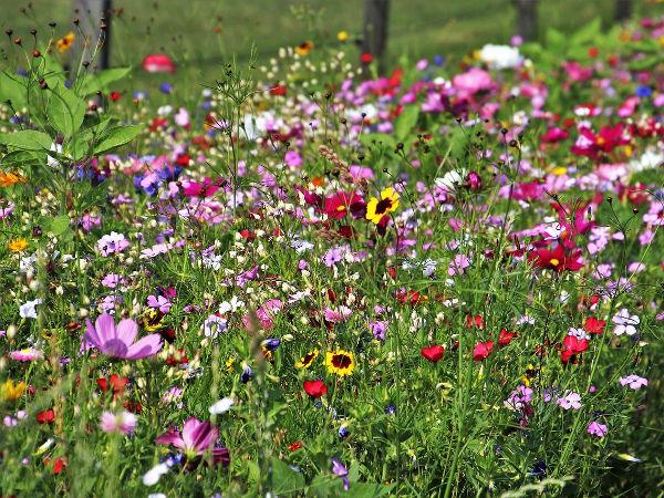 Łąka kwietna dla pszczół. Jak założyć łąkę kwietną w ogrodzie?