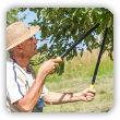 Letnie cięcie drzew owocowych jabłoni, gruszy, śliwy