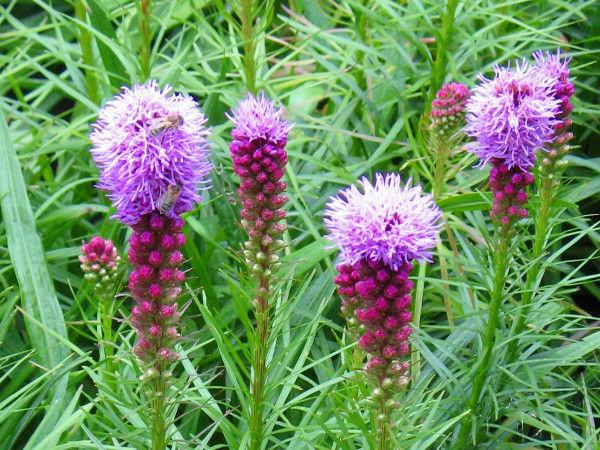 Kwiaty Ogrodowe Wieloletnie