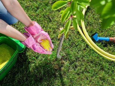 Nawożenie drzew owocowych na wiosnę