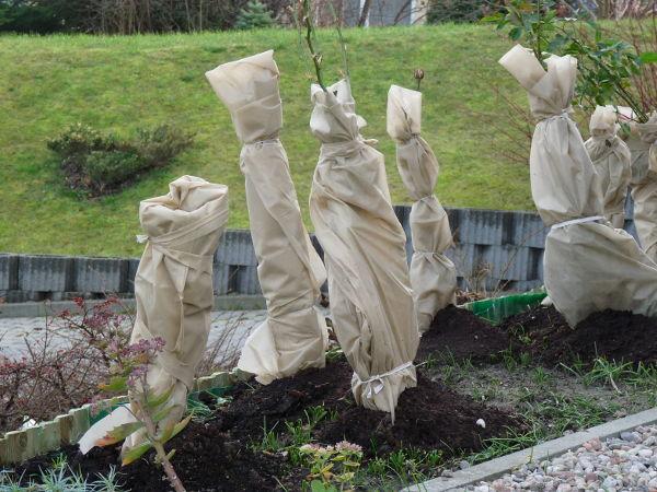 Ochrona roślin przed przymrozkami - wskazówki