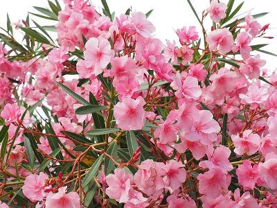 Oleander zimowanie