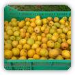 owoce pigwowca - kiedy zbierać, gdzie kupić, jaka cena