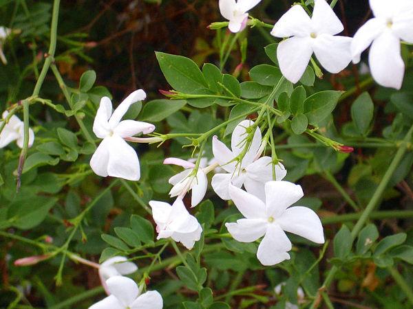Pachnące Kwiaty Doniczkowe 5 Roślin O Przyjemnym Zapachu