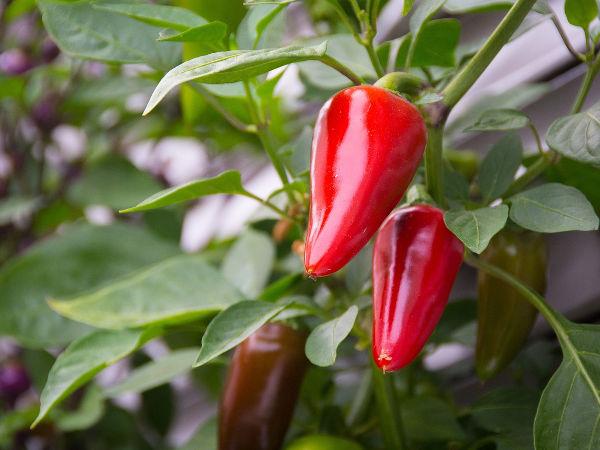 1cee228f04a509 Papryczka chili - właściwości i uprawa w doniczce