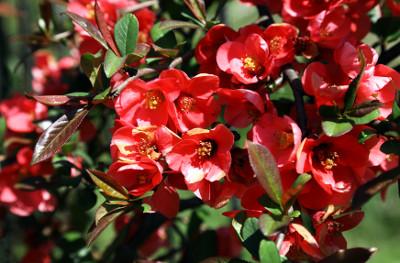 pigwowiec japoński - kwiaty