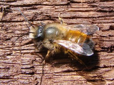 Pszczoła murarka ogrodowa