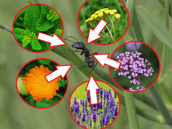 Rośliny Odstraszające Mrówki