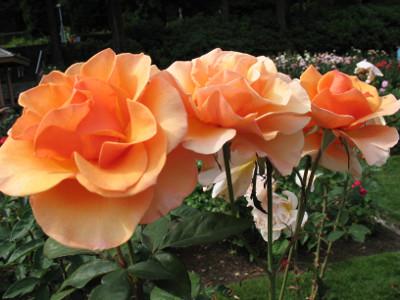 róże jesienią
