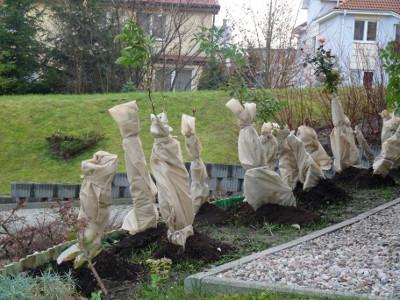 róże jesienią - okrycie na zimę