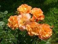 róża parkowa Westerland