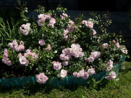 róża rabatowa Bonica