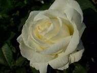 róża wielkokwiatowa Fryderyk Chopin