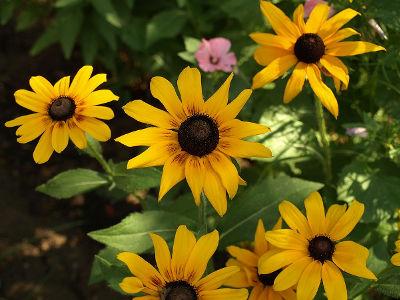 Kwiaty wieloletnie ogrodowe