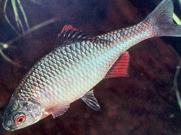 Ryby do oczka wodnego for Teichfische arten bilder