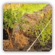 Sadzenie żywopłotu z roślin z odkrytym korzeniem