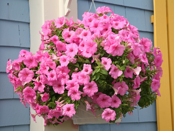 Kwiaty balkonowe zwisaj ce for Surfinia balcone