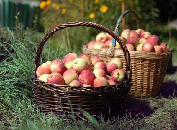 trampki sklep internetowy urok kosztów Zbiór owoców z ogrodu