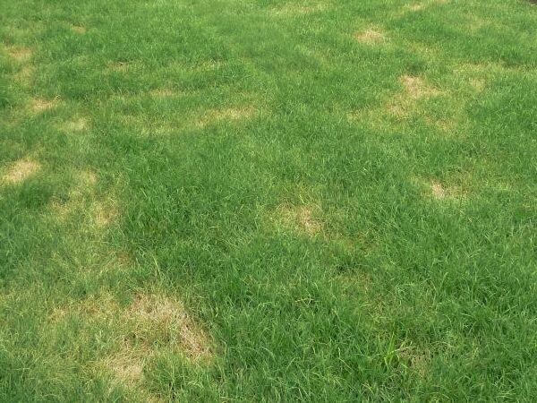 zolte plamy  suche placki na trawniku dlaczego trawa
