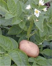 http://poradnikogrodniczy.pl/pliki/szkodniki/ziemniak.jpg
